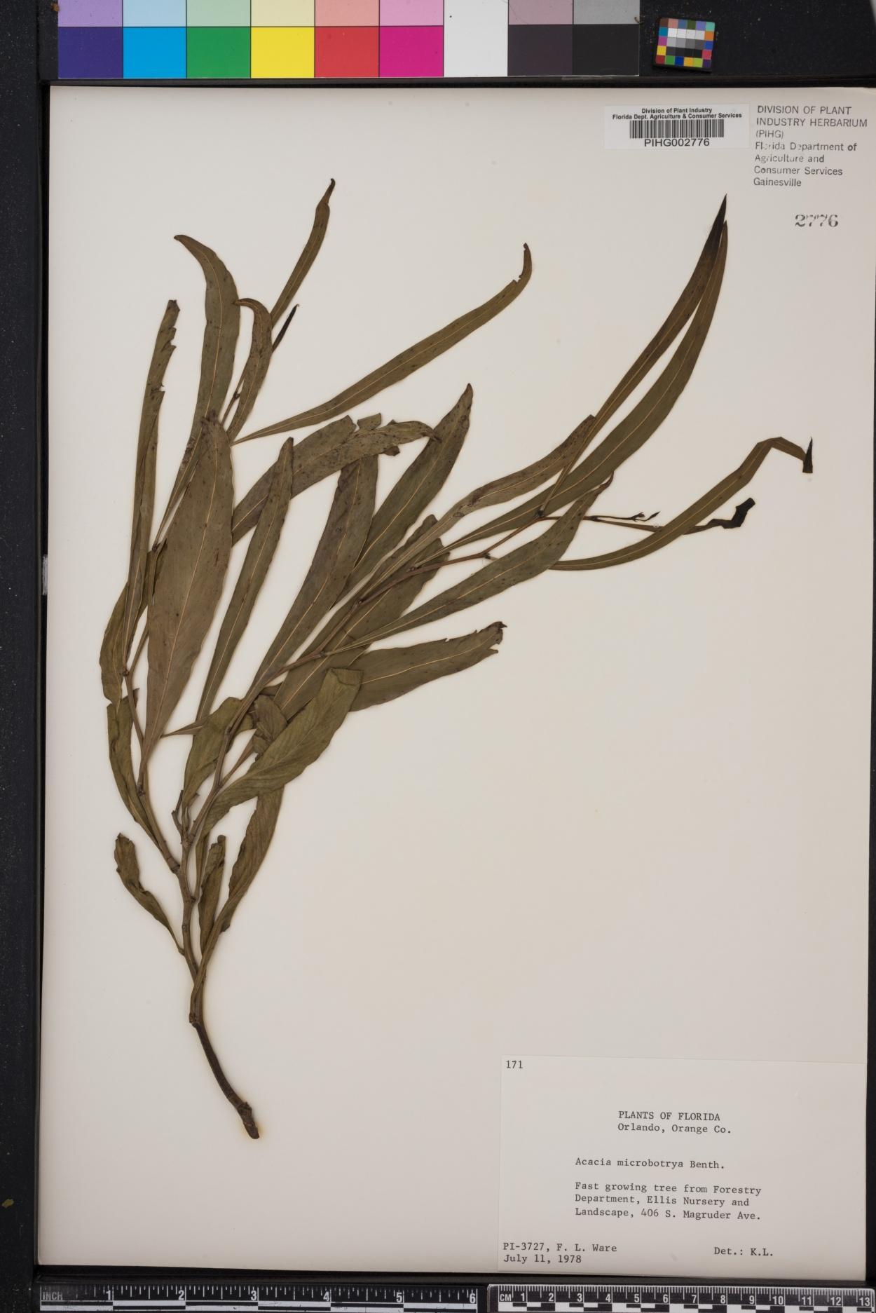 Acacia microbotrya image