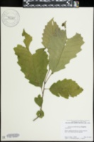 Quercus muehlenbergii image