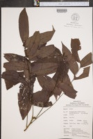 Picramnia sellowii image