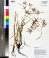Cyperus sphacelatus image