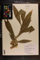 Image of Costus pictus