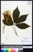 Aesculus parviflora image