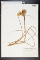 Image of Iris xiphioides