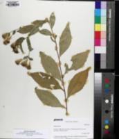 Image of Eurybia saxicastelli