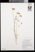 Trifolium macraei image