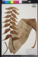 Heliconia rostrata image