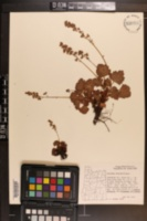 Image of Heuchera merriamii
