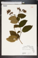 Image of Rotheca myricoides