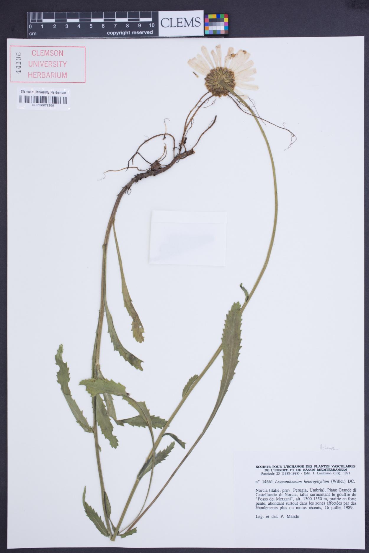 Leucanthemum heterophyllum image