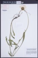 Image of Leucanthemum heterophyllum