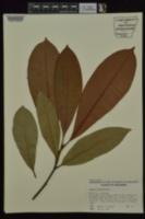 Magnolia grandiflora image