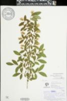 Ligustrum obtusifolium image