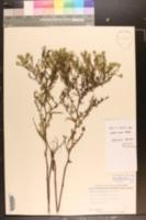 Symphyotrichum kralii image