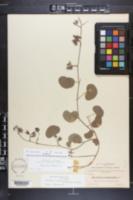 Rhynchosia michauxii image