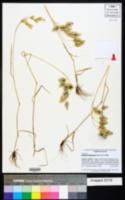 Bromus briziformis image