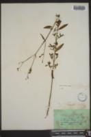 Rhexia nashii image