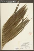 Image of Chrysalidocarpus lutescens
