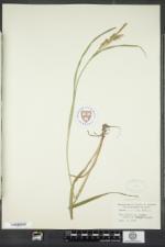 Carex scabrata image