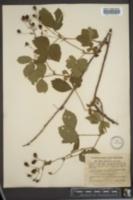 Image of Rubus abbrevians