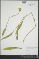 Pyrrhopappus carolinianus image