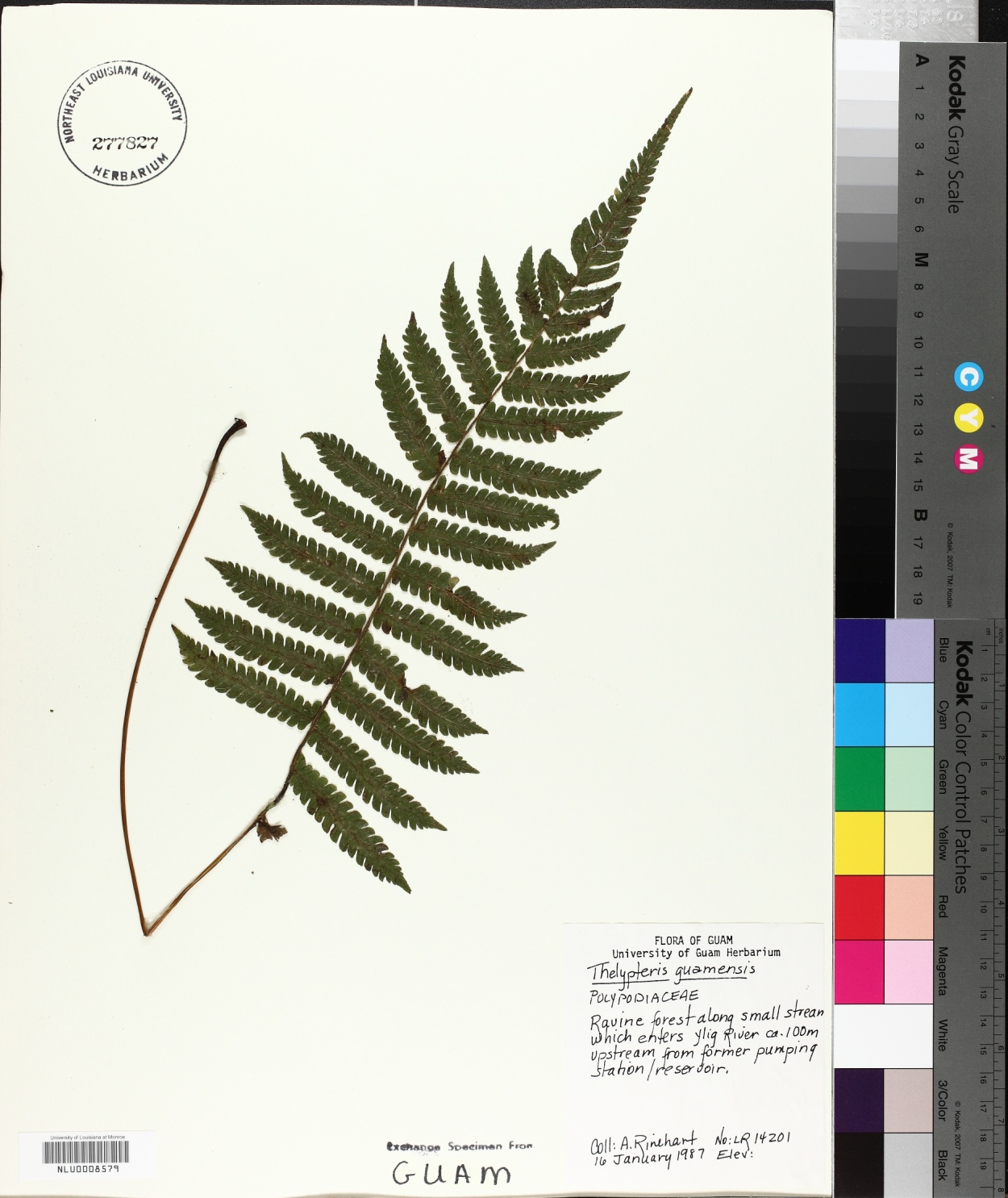 Thelypteris guamensis image