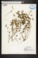 Image of Acalypha chamaedryfolia