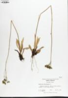 Pilosella piloselloides image