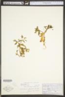 Stellaria pubera image