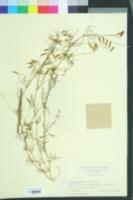 Image of Vicia laxiflora