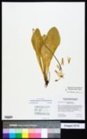 Image of Primula meadia