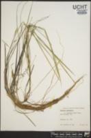 Luziola bahiensis image