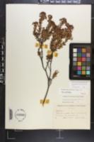 Kalmia buxifolia image