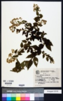 Image of Baccharis anomala