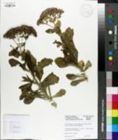 Hylotelephium spectabile image