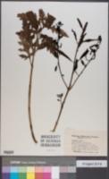 Image of Agalinis flava