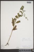 Hackelia americana image