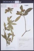Image of Tabernaemontana australis
