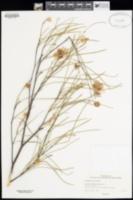 Image of Grevillea bracteosa