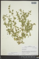 Glinus lotoides image