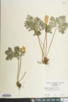 Dicentra cucullaria image