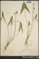 Image of Sagittaria variabilis