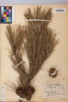 Pinus rigida image