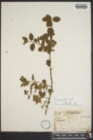 Image of Ilex buswellii