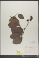 Tetracera ovalifolia image