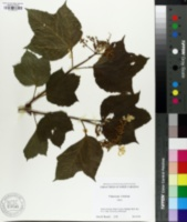Image of Viburnum trilobum