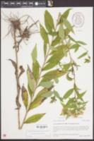 Doellingeria umbellata var. umbellata image