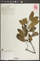Prunus caroliniana image