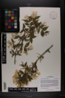 Image of Kolkwitzia amabilis