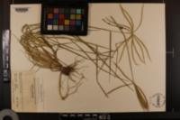 Chloris pectinata image