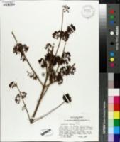 Image of Callicarpa japonica
